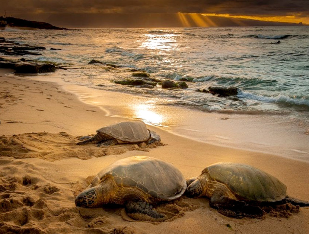 hawaiian-green-sea-turtle-honu-watch-hawaii-wildlife-fund