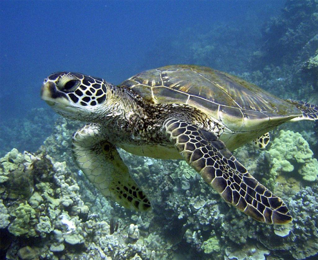 hawaiian-green-sea-turtle-hawaii-wildlife-fund