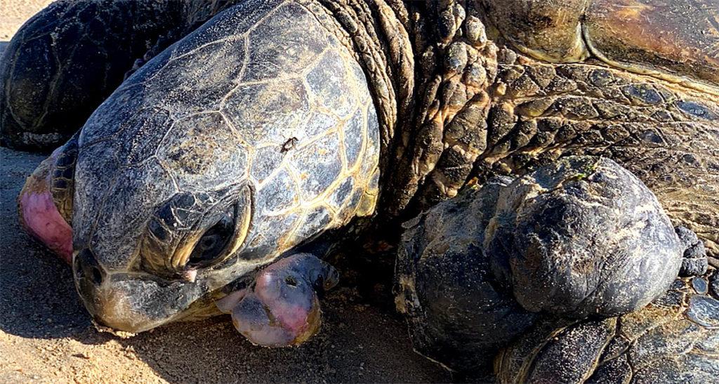 hawaiian-green-sea-turtle-tumors-fibropapillomatosis-hawaii-wildlife-fund