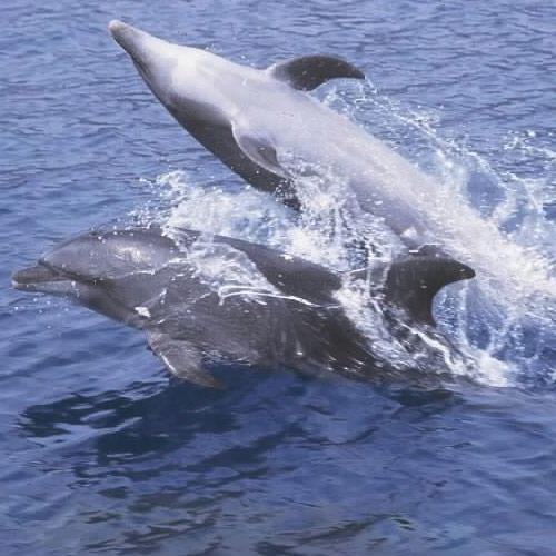 adopt-bottlenose-dolphin-hawaii-wildlife-fund