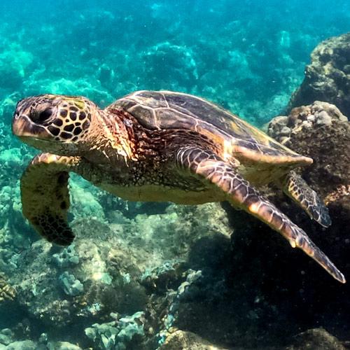 adopt-hawaiian-green-sea-turtle-hawaii-wildlife-fund