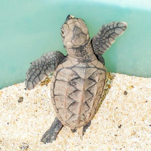 adopt-hawksbill-sea-turtle-hatchling-hawaii-wildlife-fund