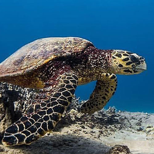 adopt-hawksbill-sea-turtle-hawaii-wildlife-fund