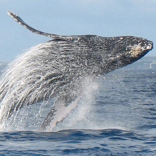 adopt-humpback-whale-hawaii-wildlife-fund