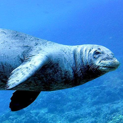 adopt-monk-seal-hawaii-wildlife-fund