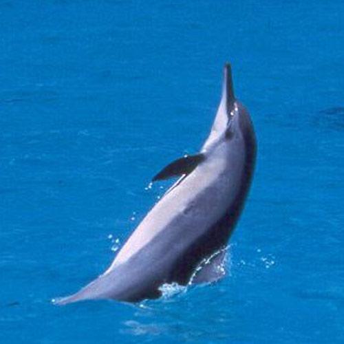 adopt-spinner-dolphin-hawaii-wildlife-fund