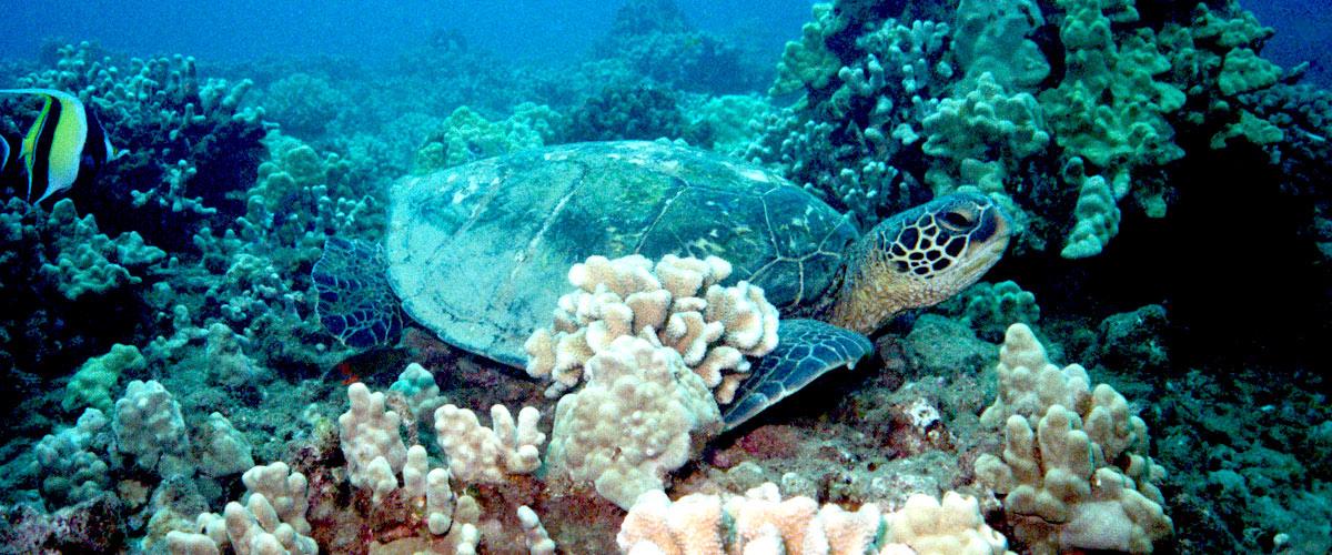 hawaiian-green-sea-turtles-hawaii-wildlife-fund