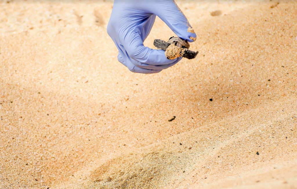 hawksbill-sea-turtle-babies-hawaii-wildlife-fund-1