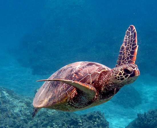 Hawaiian Green Sea Turtles - Hawai'i Wildlife Fund