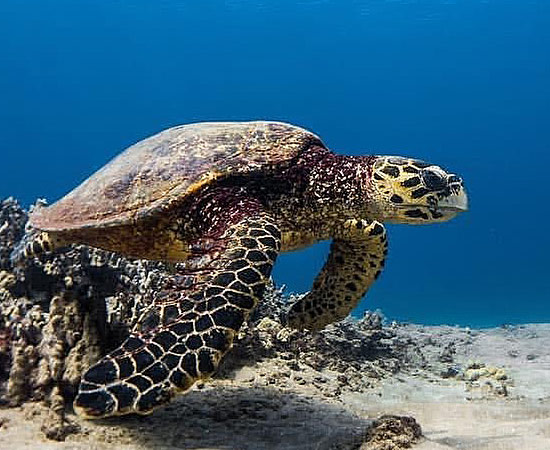 Hawksbill Sea Turtles - Hawai'i Wildlife Fund