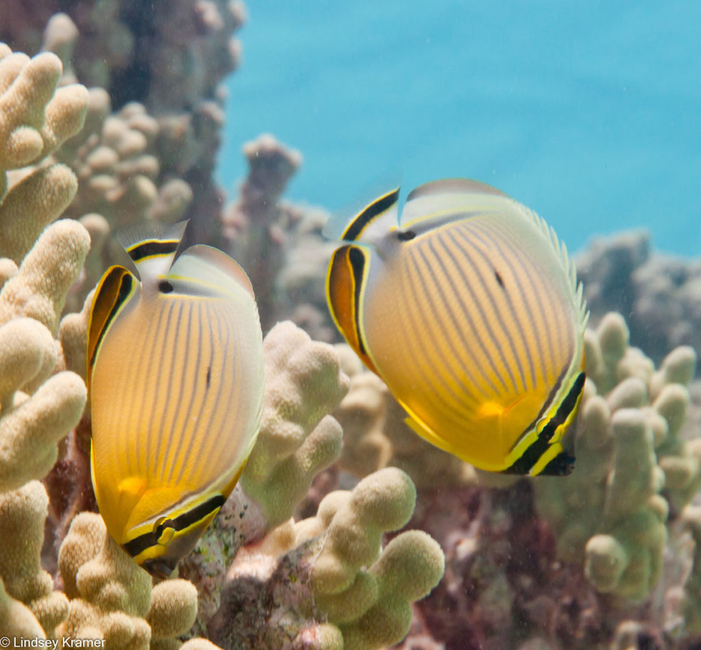 hawaiian-coral-reef-photos-by-lindsey-kramer-hawaii-wildlife-fund