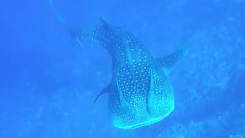 maui-whale-shark-sighting-terrin-brennan-kai-kanani-hawaii-wildlife-fund