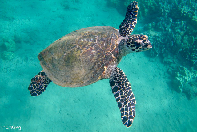 hawksbill-sea-turtle-hawaii-wildlife-fund