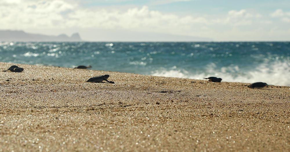 turtle-hatchlings-maui-hawaii-wildlife-fund
