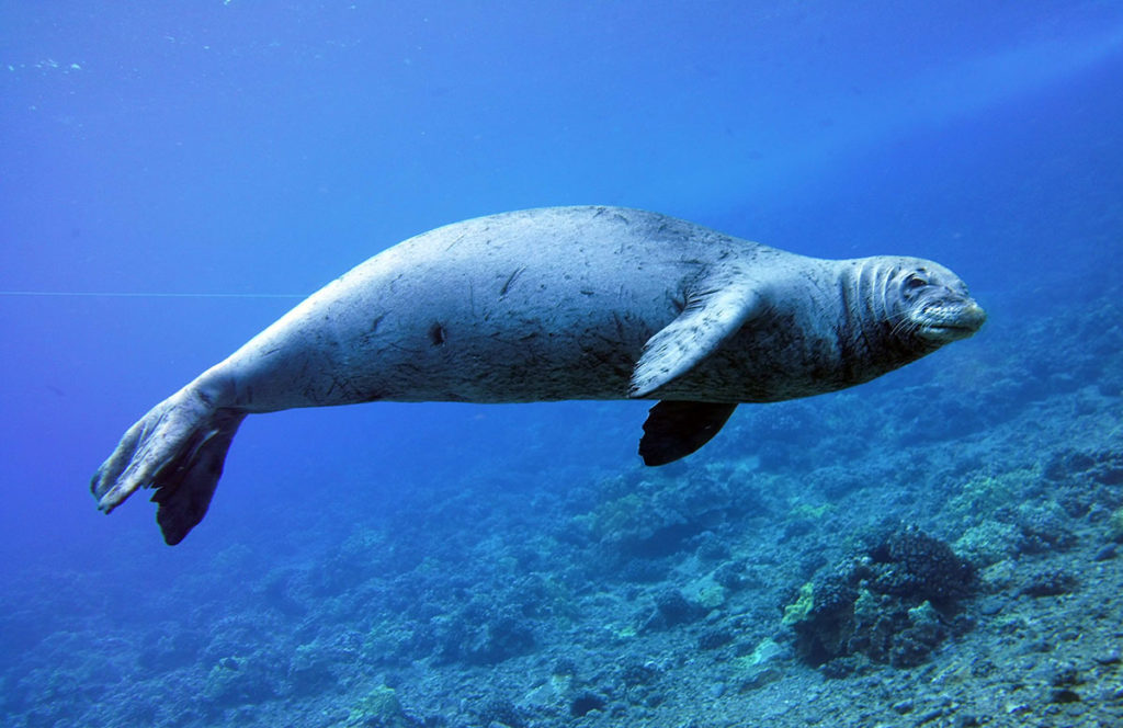 2-hawaiian-monk-seal-maui-david-taylors-kai-kanani