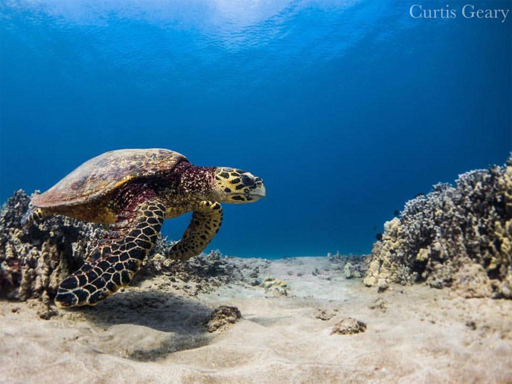 hawksbill-sea-turtle-hawaii-wildlife-fund