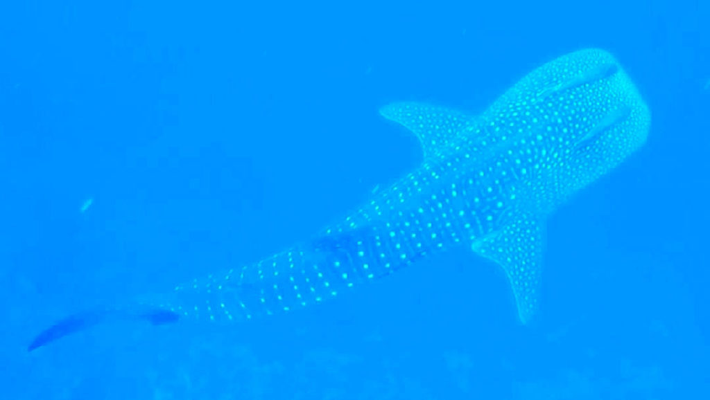 maui-whale-shark-sighting-teddy-beahm-kai-kanani-hawaii-wildlife-fund