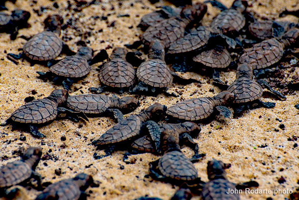 HWF-joins-suit-to-protect-wildlife-from-county-streetlights-baby-hawksbill-turtles
