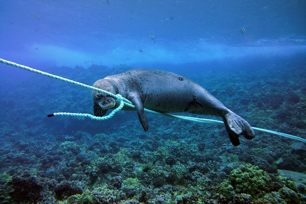 hawaiian-monk-seal-molokini-maui-david-taylors-kai-kanani