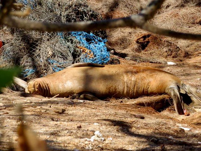 hawaiian-monk-seal-next-to-net-hawaii-wildlife-fund