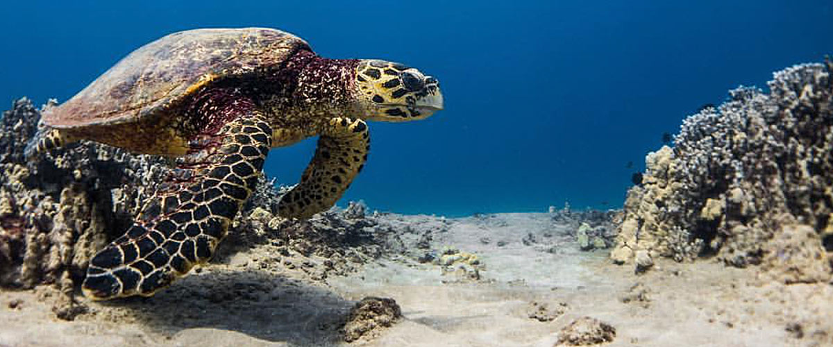 hawksbill-sea-turtle-hawaii-wildlife-fund-header