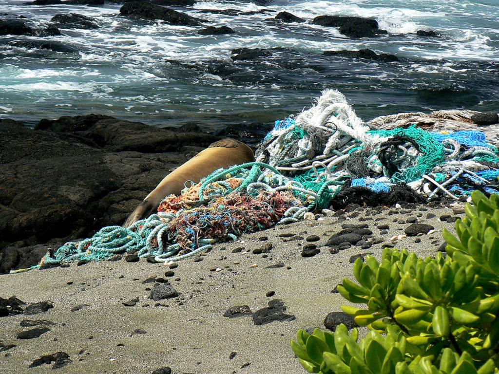 monk-seal-in-nets-at-kamilo-justin-vietzbicke-noaa-hawaii-wildlife-fund