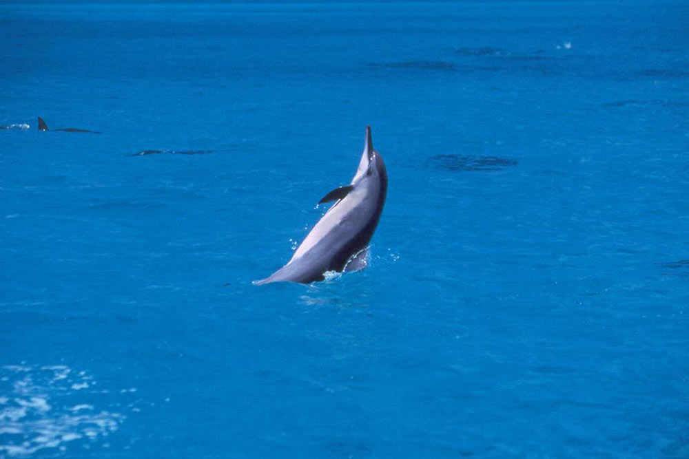 spinner-dolphin-hawaii-wildlife-fund